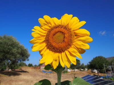 sunflower_korogonas_ark_2014-s_400